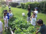 Harvesting beans!