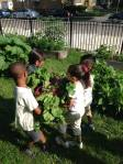 "Teamwork makes harvesting easier for our ""Strawberries"" group."